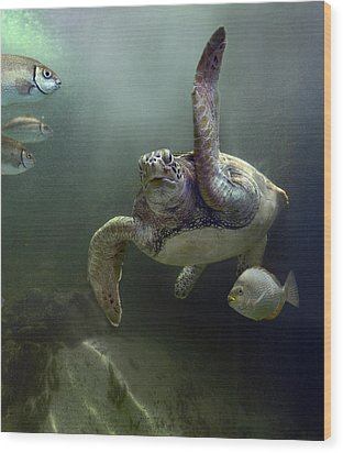 Green Sea Turtle Chelonia Mydas Wood Print by Tim Fitzharris