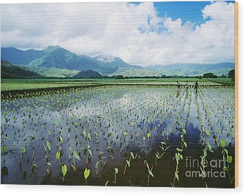 Kauai, Wet Taro Farm Wood Print by Bob Abraham - Printscapes