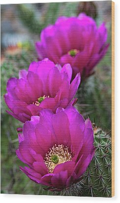 Wood Print featuring the photograph Pink Hedgehog Cactus  by Saija Lehtonen