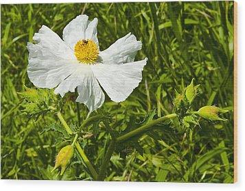 Prickly Poppy Wood Print by Mark Weaver