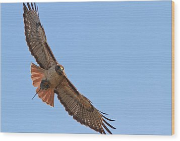 Red-tailed Hawk  Wood Print by Carl Jackson