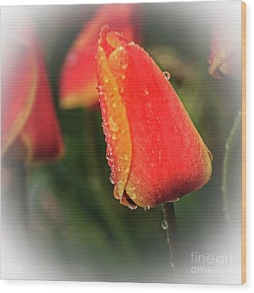 Wood Print featuring the photograph Red Tulip  by Robert Bales