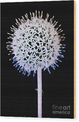White Alium Onion Flower Wood Print
