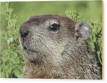 Woodchuck Calverton New York Wood Print