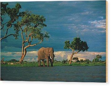 African Elephant Loxodonta Africana Wood Print by Beverly Joubert