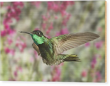 Magnificent Hummingbird Wood Print by Gregory Scott