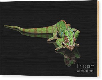 Sneaking Panther Chameleon, Reptile With Colorful Body On Black Mirror, Isolated Background Wood Print