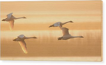 Wood Print featuring the photograph 4 Swans by Kelly Marquardt