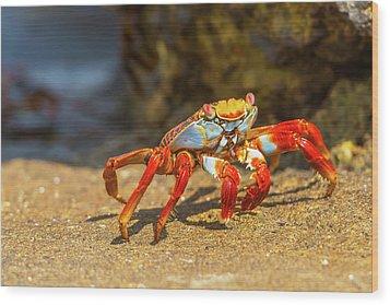 Sally Lightfoot Crab On Galapagos Islands Wood Print by Marek Poplawski