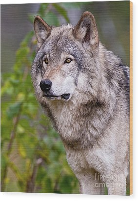 Timber Wolf Wood Print by Michael Cummings