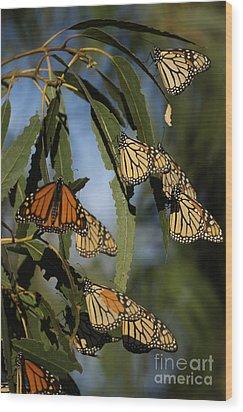 Butterflies Wood Print by Marc Bittan
