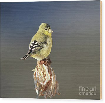 Lesser Goldfinch Wood Print