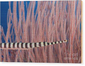Malaysia, Marine Life Wood Print by Dave Fleetham - Printscapes