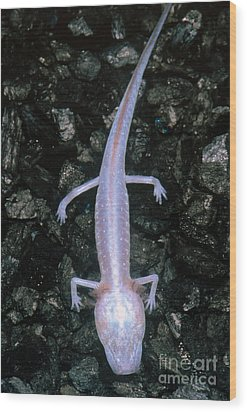 Austin Blind Salamander Wood Print by Dante Fenolio
