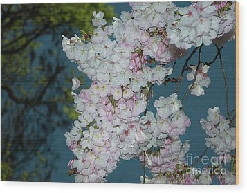 Silicon Valley Cherry Blossoms Wood Print