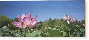 A Beautiful Emperor Lotus Blooms Wood Print by Richard Nowitz