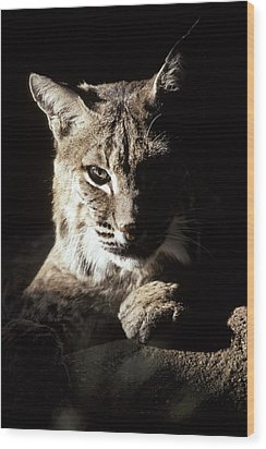 A Bobcat Sitting In A Ray Of Sun Wood Print by Jason Edwards