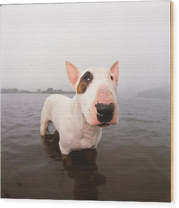 A Bull Terrier In Water Wood Print by Cica Oyama
