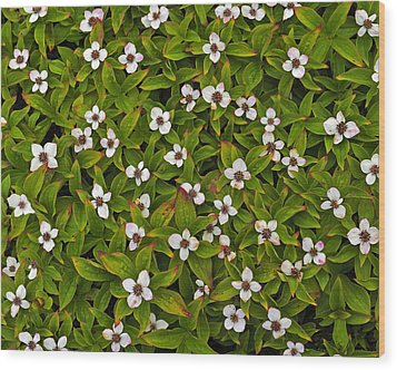 A Bunch Of Bunchberries Wood Print by Tony Beck