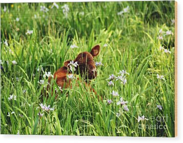 A Calf's Perfect Haven  Wood Print by Cathy  Beharriell
