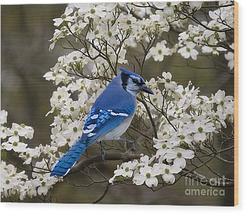 A Chatty Bluejay Wood Print