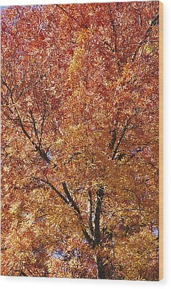 A Claret Ash Tree In Its Autumn Colors Wood Print by Jason Edwards