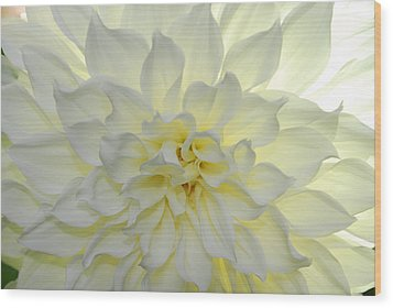 A Close Up Of A White Dahlia Flower Wood Print by Raul Touzon