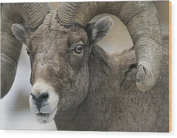 A Close View Of A Male Bighorn Sheep Wood Print by Tom Murphy