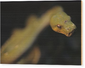 A Curious Immature Green Tree Python Wood Print by Taylor S. Kennedy