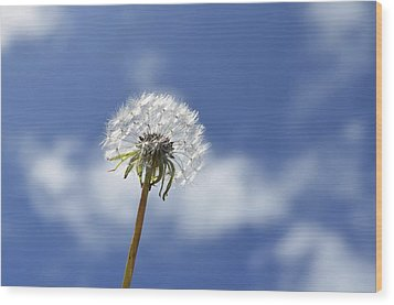 A Dandelion Flower Wood Print