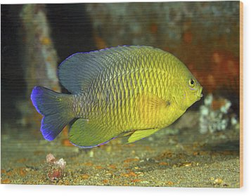 A Dusky Damselfish Offshore From Panama Wood Print by Michael Wood