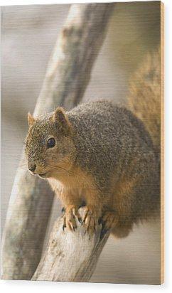 A Fox Squirrel Sciurus Niger Perches Wood Print by Joel Sartore