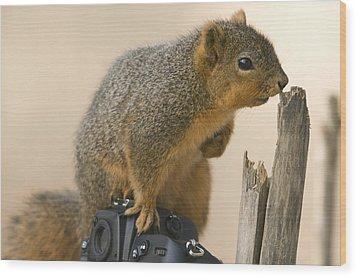 A Fox Squirrel Sciurus Niger Sits Wood Print by Joel Sartore