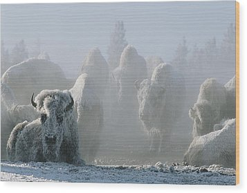 A Frost-covered Herd Of American Bison Wood Print by Tom Murphy