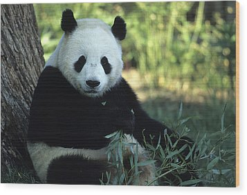 A Giant Panda Eating Bamboo Wood Print by Taylor S. Kennedy