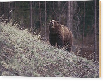 A Grizzly Bear Approaching The Crest Wood Print by Bobby Model