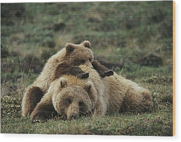 A Grizzly Bear Cub Stretches Wood Print by Michael S. Quinton