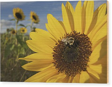 A Honey Bee Visiting A Sunflower Wood Print by Tim Laman