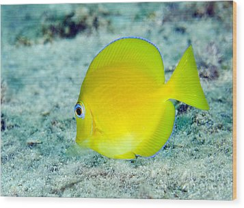 A Juvenile Blue Tang Searching Wood Print by Terry Moore