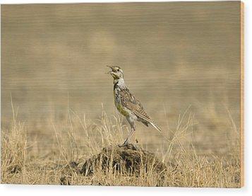 A Juvenile Western Meadowlark Wood Print by Joel Sartore