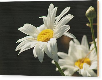 A Little Less Than Perfect Sunshine Daisy  Wood Print by Cathy  Beharriell