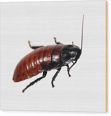 A Madagascar Hissing Cockroach Wood Print by Michael Ledray