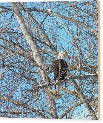 Wood Print featuring the photograph A Majestic Bald Eagle by Will Borden