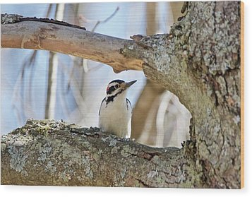 Wood Print featuring the photograph A Male Downey Woodpecker  1111 by Michael Peychich