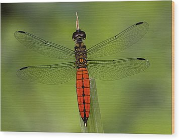A Male Forest Chaser Dragonfly Rests Wood Print by Joe Petersburger