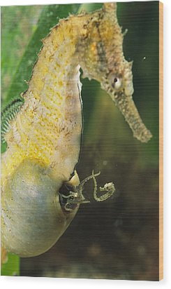 A Male Sea Horse With Young Emerging Wood Print by George Grall