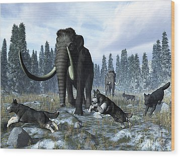 A Pack Of Dire Wolves Crosses Paths Wood Print by Walter Myers