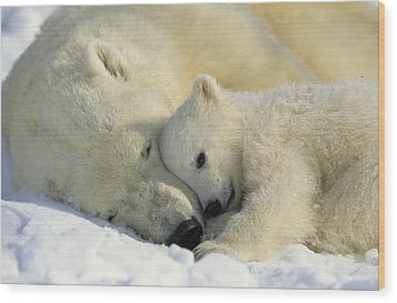 A Polar Bear And Her Cub Napping Wood Print by Norbert Rosing