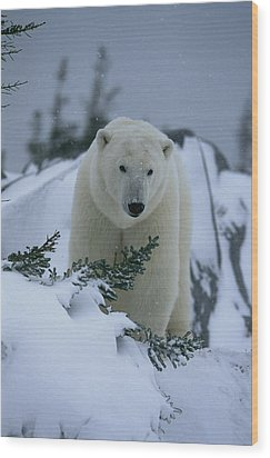 A Polar Bear In A Snowy, Twilit Wood Print by Norbert Rosing