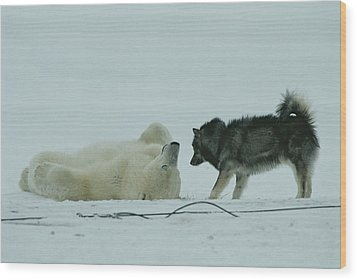 A Polar Bear Lolls On His Back While Wood Print by Norbert Rosing
